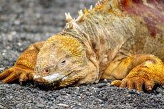 Ritratto dell'iguana terrestre delle Galapagos, subcristatus di Conolophus Fotografia Stock