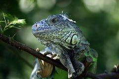 Ritratto dell'iguania Immagini Stock