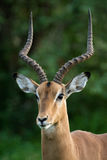 Ritratto dell'impala Fotografie Stock Libere da Diritti