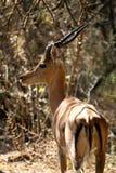 Ritratto dell'impala nel Botswana Fotografia Stock