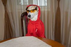 Ritratto dell'interno indumento adatto del cane sicuro di sé di nuovo immagini stock libere da diritti