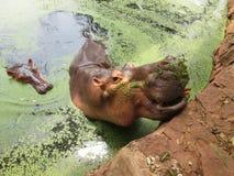 Ritratto dell'ippopotamo nella natura Fotografia Stock Libera da Diritti