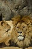 Ritratto dell'leoni Fotografia Stock Libera da Diritti