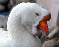 Ritratto dell'oca bianca di Kholmogory Fotografia Stock Libera da Diritti