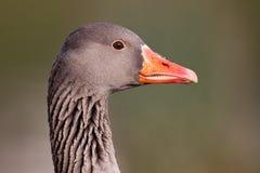 Ritratto dell'oca selvatica Fotografia Stock