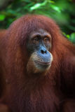 Ritratto dell'orangutan Immagine Stock Libera da Diritti