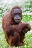 Ritratto dell'orangutan Fotografia Stock