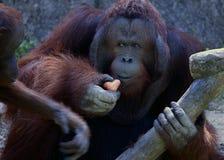 Ritratto dell'orangutan Ritratto del maschio adulto dell'orangutan adulto nello zoo Fotografia Stock