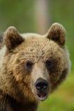 Ritratto dell'orso bruno Immagini Stock