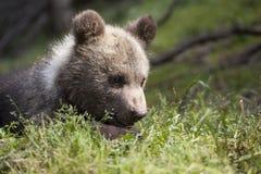 Ritratto dell'orso del bambino in sole Immagine Stock Libera da Diritti