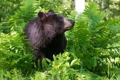 Ritratto dell'orso nero Immagine Stock