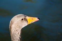 Ritratto dell'uccello dell'anatra nella natura Fotografie Stock