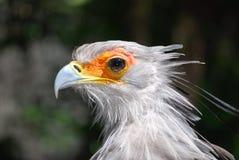 Ritratto dell'uccello di segretaria Immagine Stock
