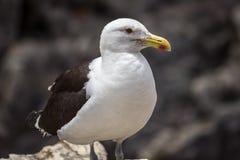 Ritratto dell'uccello marino Fotografie Stock Libere da Diritti