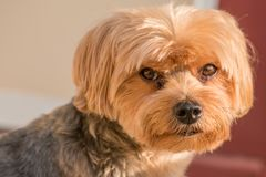 Ritratto dell'Yorkshire terrier - razza pura - grande individuo fotografia stock