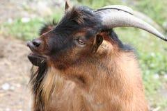 Ritratto della capra Immagini Stock Libere da Diritti