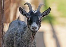 Ritratto della capra Fotografia Stock