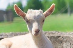 Ritratto della capra Immagine Stock