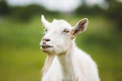 Ritratto della capra Immagine Stock Libera da Diritti