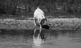 Ritratto della capra all'aperto nell'acqua fotografia stock