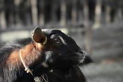 Ritratto della capra asiatica Fotografia Stock Libera da Diritti