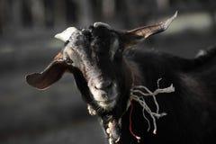 Ritratto della capra asiatica Fotografie Stock Libere da Diritti