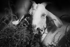 Ritratto della capra asiatica Immagine Stock