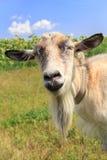 Ritratto della capra che pasce nel campo un giorno di estate Immagini Stock Libere da Diritti