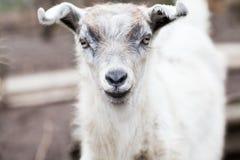 Ritratto della capra del bambino Fotografia Stock