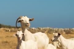 Ritratto della capra della famiglia Un bello momento della madre e dei suoi bambini Immagini Stock