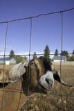Ritratto della capra di Nubian. Fotografia Stock Libera da Diritti