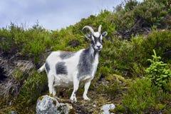 Ritratto della capra, Norvegia, capra che posa per le immagini Immagini Stock Libere da Diritti