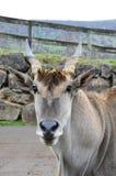 Ritratto della capra selvaggia Immagine Stock Libera da Diritti