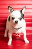 Ritratto della chihuahua Fotografie Stock Libere da Diritti