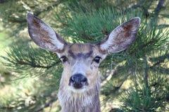 Ritratto della daina dei cervi di mulo Fotografia Stock