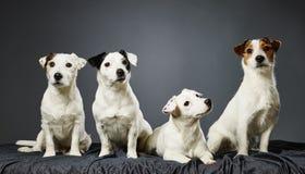 Ritratto della famiglia del terrier di Jack Russell Fotografia Stock Libera da Diritti