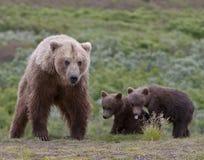 Ritratto della famiglia dell'orso grigio Immagine Stock Libera da Diritti