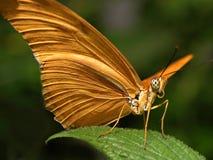 Ritratto della farfalla Fotografia Stock