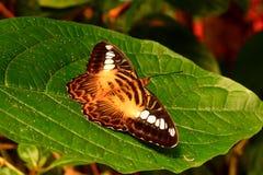 Ritratto della farfalla del tagliatore di Brown. fotografia stock libera da diritti
