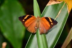 Ritratto della farfalla di Leafwing Fotografia Stock Libera da Diritti