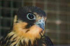 Ritratto della femmina del falco cuculo, vespertinus di Falco immagini stock libere da diritti