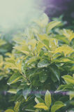 Ritratto della foglia di tè verde Immagine Stock
