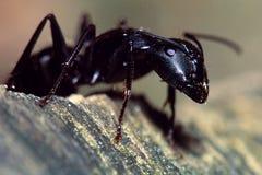 Ritratto della formica del legno Fotografie Stock