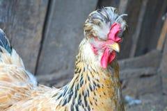Ritratto della gallina domestica marrone con la cresta rossa sulla testa fotografia stock