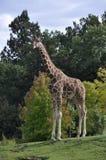 ritratto della giraffa Fotografia Stock Libera da Diritti