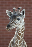 Ritratto della giraffa Fotografie Stock Libere da Diritti