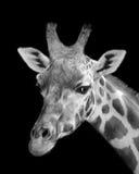 Ritratto della giraffa Immagine Stock