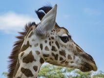 Ritratto della giraffa Fotografie Stock