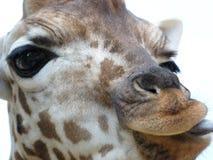 Ritratto della giraffa Immagini Stock Libere da Diritti