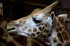 Ritratto della giraffa, mangiante Fotografia Stock Libera da Diritti